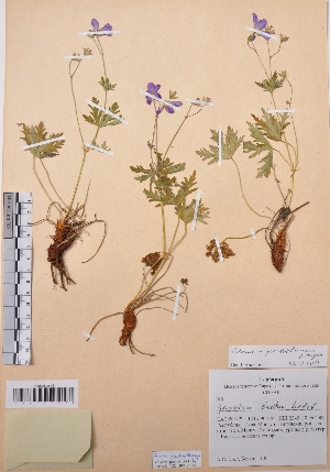 (Geranium pseudosibiricum - CCDB-26253-B01)  @11 [ ] CreativeCommons - Attribution Non-Commercial Share-Alike (2016) Evgeny Zibzeev Central Ciberian Botanical Garden