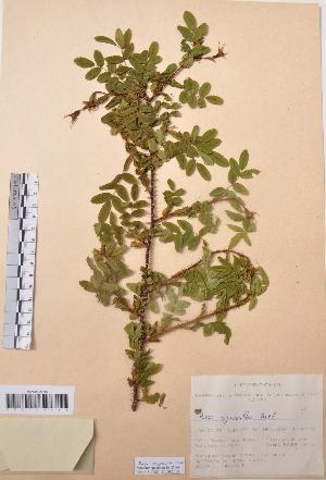 (Rosa oxyacantha - CCDB-26253-C02)  @11 [ ] CreativeCommons - Attribution Non-Commercial Share-Alike (2016) Evgeny Zibzeev Central Ciberian Botanical Garden