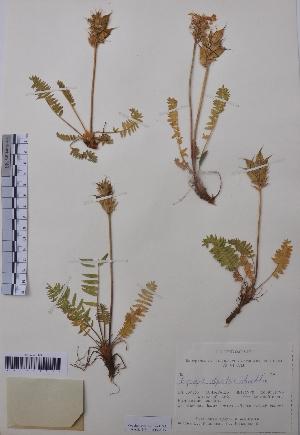(Oxytropis alpestris - CCDB-26253-C12)  @11 [ ] CreativeCommons - Attribution Non-Commercial Share-Alike (2016) Evgeny Zibzeev Central Ciberian Botanical Garden