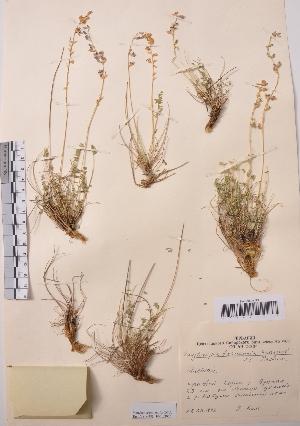 (Oxytropis kaspensis - CCDB-26253-D11)  @11 [ ] CreativeCommons - Attribution Non-Commercial Share-Alike (2016) Evgeny Zibzeev Central Ciberian Botanical Garden