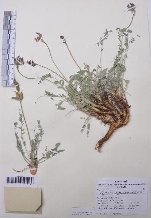 (Oxytropis argentata - CCDB-26253-E12)  @11 [ ] CreativeCommons - Attribution Non-Commercial Share-Alike (2016) Evgeny Zibzeev Central Ciberian Botanical Garden