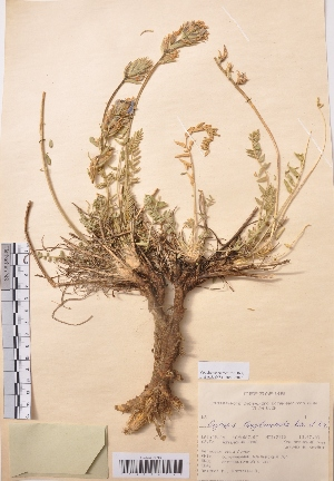(Oxytropis longibracteata - CCDB-26253-F11)  @11 [ ] CreativeCommons - Attribution Non-Commercial Share-Alike (2016) Evgeny Zibzeev Central Ciberian Botanical Garden