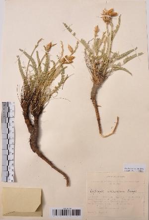 (Oxytropis macrosema - CCDB-26253-G11)  @11 [ ] CreativeCommons - Attribution Non-Commercial Share-Alike (2016) Evgeny Zibzeev Central Ciberian Botanical Garden