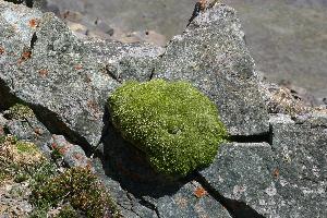 (Stellaria pulvinata - CCDB-26258-A07)  @11 [ ] CreativeCommons - Attribution Non-Commercial Share-Alike (2016) Evgeny Zibzeev Central Ciberian Botanical Garden