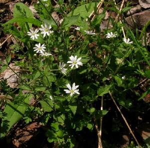 (Stellaria zolotuchinii - CCDB-26258-A09)  @11 [ ] CreativeCommons - Attribution Non-Commercial Share-Alike (2016) Evgeny Zibzeev Central Ciberian Botanical Garden