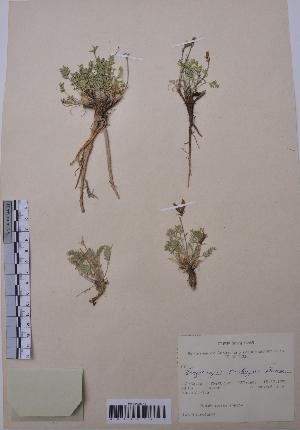 (Oxytropis tschujae - CCDB-26258-C03)  @11 [ ] CreativeCommons - Attribution Non-Commercial Share-Alike (2016) Evgeny Zibzeev Central Ciberian Botanical Garden