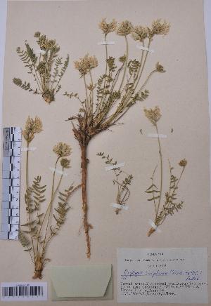 (Oxytropis sulphurea - CCDB-26258-D03)  @11 [ ] CreativeCommons - Attribution Non-Commercial Share-Alike (2016) Evgeny Zibzeev Central Ciberian Botanical Garden