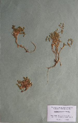 (Stellaria martjanovii - CCDB-26258-E07)  @11 [ ] CreativeCommons - Attribution Non-Commercial Share-Alike (2016) Evgeny Zibzeev Central Ciberian Botanical Garden