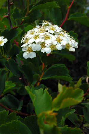 (Spiraea trilobata - CCDB-26258-G04)  @11 [ ] CreativeCommons - Attribution Non-Commercial Share-Alike (2016) Evgeny Zibzeev Central Ciberian Botanical Garden