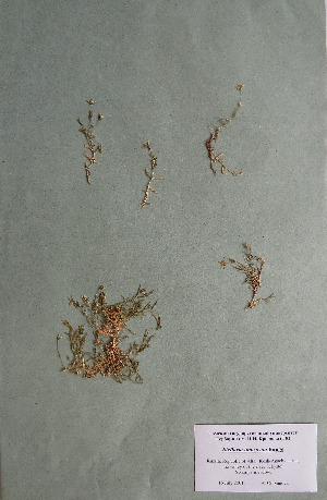 (Stellaria imbricata - CCDB-26258-G07)  @11 [ ] CreativeCommons - Attribution Non-Commercial Share-Alike (2016) Evgeny Zibzeev Central Ciberian Botanical Garden