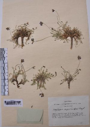 (Oxytropis saposhnikovii - CCDB-26258-H03)  @11 [ ] CreativeCommons - Attribution Non-Commercial Share-Alike (2016) Evgeny Zibzeev Central Ciberian Botanical Garden