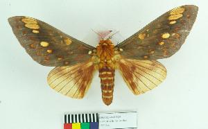 (Citheronia aroa - MHNC-ELH-BAR 0026)  @15 [ ] CreativeCommons - Attribution Non-Commercial (2012) Arturo Munos Saravia Museo de Historia Natural Alcide d'Orbigny