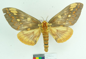 (Citheronia aroa - MHNC-ELH-BAR 0027)  @15 [ ] CreativeCommons - Attribution Non-Commercial (2012) Arturo Munos Saravia Museo de Historia Natural Alcide d'Orbigny