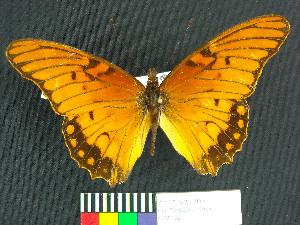(Dione glycera - MHNC-ELR-BAR 00064)  @11 [ ] CreativeCommons - Attribution Non-Commercial (2012) Museo de Historia Natural Alcide d'Orbigny Museo de Historia Natural Alcide d'Orbigny