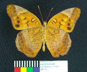 (Euptoieta hegesia meridiania - MHNC-ELR-BAR 00065)  @11 [ ] CreativeCommons - Attribution Non-Commercial (2012) Museo de Historia Natural Alcide d'Orbigny Museo de Historia Natural Alcide d'Orbigny