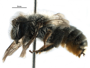(Osmia RUS01 - 06712B08-RUS)  @15 [ ] CreativeCommons - Attribution Non-Commercial Share-Alike (2016) CBG Photography Group Centre for Biodiversity Genomics