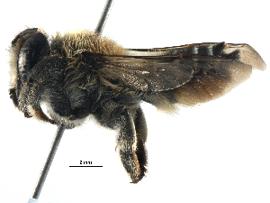 (Megachile RUS02 - 06712B10-RUS)  @15 [ ] CreativeCommons - Attribution Non-Commercial Share-Alike (2016) BIO Photography Group Biodiversity Institute of Ontario