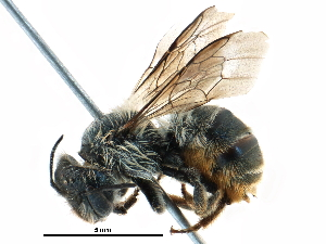 (Osmia RUS01 - 06712H04-RUS)  @14 [ ] CreativeCommons - Attribution Non-Commercial Share-Alike (2016) BIO Photography Group Biodiversity Institute of Ontario