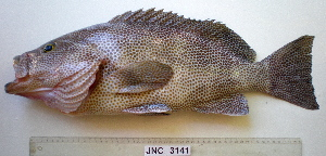 (Epinephelus - JNC-3141)  @16 [ ] by-nc-sa - Creative Commons - Attribution Non-Comm Share-Alike (2011) J.L. Justine MNHN