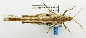 (Pyrgomorphidae - USNM ENT 00933425)  @15 [ ] Unspecified (default): All Rights Reserved  Unspecified Unspecified