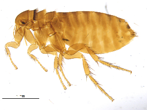 (Ceratophyllidae - BIOUG08868-C04)  @15 [ ] CreativeCommons - Attribution Non-Commercial Share-Alike (2014) BIO Photography Group Biodiversity Institute of Ontario