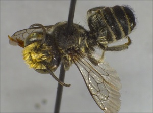 (Megachile ZAF07 - BNRGr1Hym04)  @11 [ ] Unspecified (default): All Rights Reserved  Unspecified Unspecified