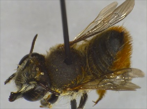 (Megachile ZAF04 - BNRGr1Hym10)  @13 [ ] Unspecified (default): All Rights Reserved  Unspecified Unspecified