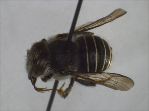 (Afranthidium ZAF1 - DrumGr3Hym10)  @13 [ ] Unspecified (default): All Rights Reserved  Unspecified Unspecified