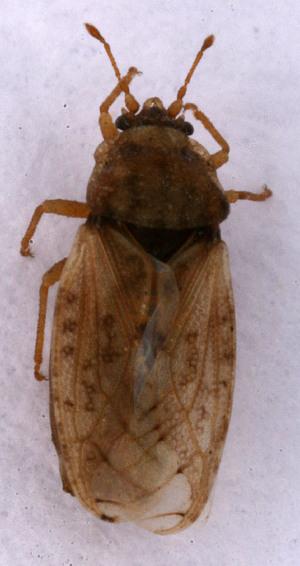 (Piesmatidae - EUBUG_574_m_Piesmmacu4)  @13 [ ] Unspecified (default): All Rights Reserved  Unspecified Unspecified