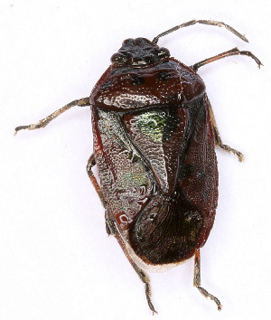 (Eurydema dominulus - EUBUG_853_f_Eurydomi1)  @11 [ ] Unspecified (default): All Rights Reserved  Unspecified Unspecified