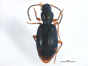 (Bembidion elongatum - ZFMK_COL_2010_519)  @13 [ ] CreativeCommons - Attribution Non-Commercial Share-Alike (2012) BIO Photography Group Biodiversity Institute of Ontario
