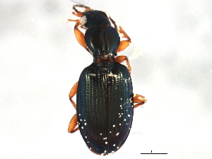 (Bembidion millerianum - ZFMK_COL_2010_549)  @13 [ ] CreativeCommons - Attribution Non-Commercial Share-Alike (2012) BIO Photography Group Biodiversity Institute of Ontario