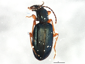 (Bembidion milerianum - ZFMK_COL_2010_550)  @13 [ ] CreativeCommons - Attribution Non-Commercial Share-Alike (2012) BIO Photography Group Biodiversity Institute of Ontario