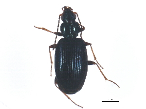 (Bembidion atrocaeruleum - ZFMK_COL_2011_172)  @13 [ ] CreativeCommons - Attribution Non-Commercial Share-Alike (2011) BIO Photography Group Biodiversity Institute of Ontario