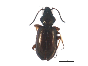 (Bembidion properans - ZFMK_COL_2011_179)  @13 [ ] CreativeCommons - Attribution Non-Commercial Share-Alike (2011) BIO Photography Group Biodiversity Institute of Ontario