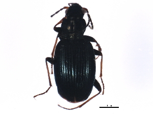 (Bembidion tibiale - ZFMK_COL_2010_617)  @13 [ ] CreativeCommons - Attribution Non-Commercial Share-Alike (2011) BIO Photography Group Biodiversity Institute of Ontario