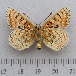 (Euphydryas desfontainii - RVcoll.14-N933)  @15 [ ] Copyright (2015) Martin Gascoigne-Pees Unspecified