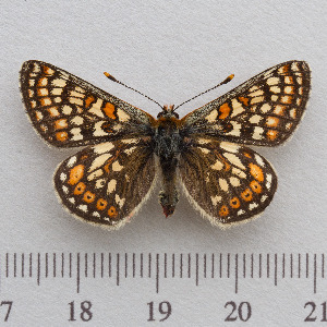(Euphydryas aurinia - RVcoll.14-N938)  @15 [ ] Copyright (2015) Martin Gascoigne-Pees Unspecified