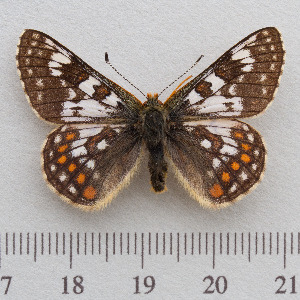 (Euphydryas cynthia - RVcoll.14-N939)  @15 [ ] Copyright (2015) Martin Gascoigne-Pees Unspecified