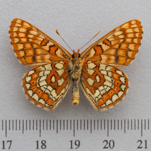 (Euphydryas intermedia - RVcoll.14-N944)  @15 [ ] Copyright (2015) Martin Gascoigne-Pees Unspecified
