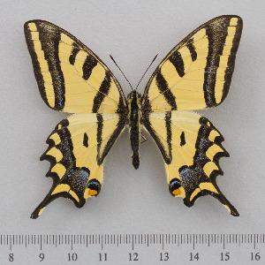 (Papilio alexanor - RVcoll.14-O163)  @14 [ ] Copyright (2015) Martin Gascoigne-Pees Unspecified