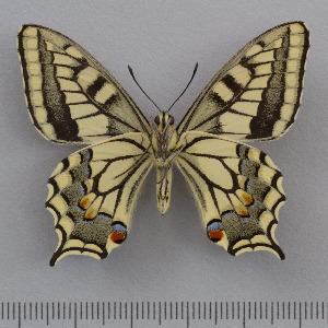 (Papilio saharae - RVcoll.14-O167)  @11 [ ] Copyright (2015) Martin Gascoigne-Pees Unspecified