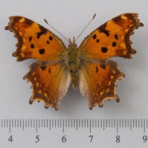 (Polygonia - RVcoll.14-O191)  @15 [ ] Copyright (2015) Martin Gascoigne-Pees Unspecified