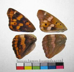 ( - RVcoll.14-J944)  @11 [ ] Copyright (2015) Vlad Dinca Institut de Biologia Evolutiva (CSIC-UPF)