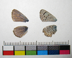 ( - RVcoll.14-F705)  @11 [ ] Copyright (2015) Vlad Dinca Institut de Biologia Evolutiva (CSIC-UPF)