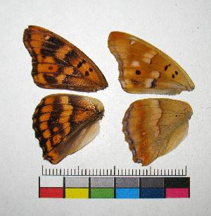 ( - RVcoll.14-G609)  @11 [ ] Copyright (2015) Vlad Dinca Institut de Biologia Evolutiva (CSIC-UPF)