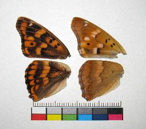 ( - RVcoll.14-G631)  @11 [ ] Copyright (2015) Vlad Dinca Institut de Biologia Evolutiva (CSIC-UPF)