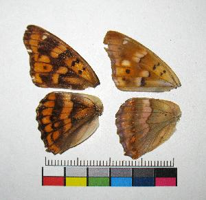 ( - RVcoll.14-G637)  @11 [ ] Copyright (2015) Vlad Dinca Institut de Biologia Evolutiva (CSIC-UPF)