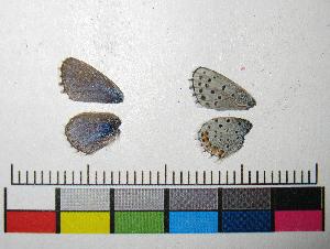 ( - RVcoll.12-M213)  @11 [ ] Copyright (2015) Vlad Dinca Institut de Biologia Evolutiva (CSIC-UPF)