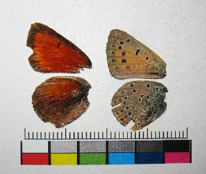 ( - RVcoll.14-C749)  @11 [ ] Copyright (2015) Vlad Dinca Institut de Biologia Evolutiva (CSIC-UPF)